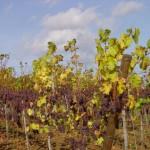 Les vignobles alsacien